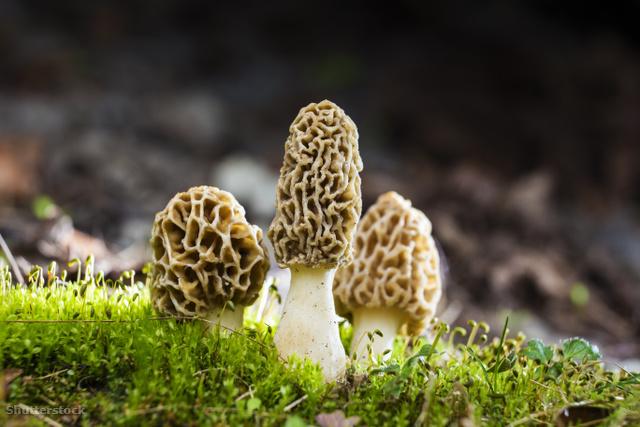 A kucsmagomba a tavasz sztárja – az erdőben és konyhában is
